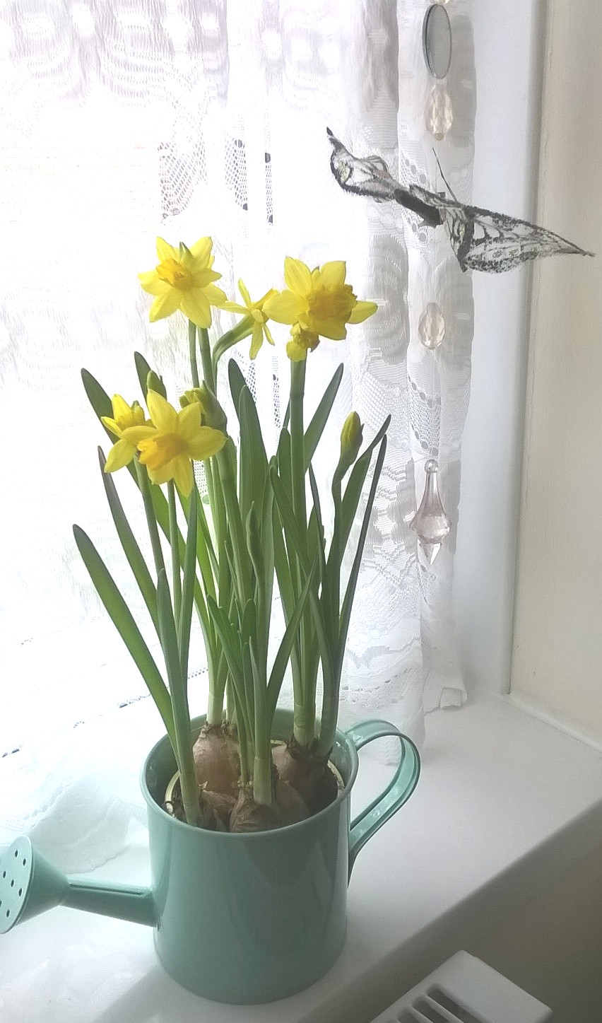 Doorstep Daffodils